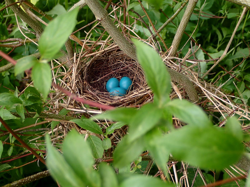 bird nest with blue eggs